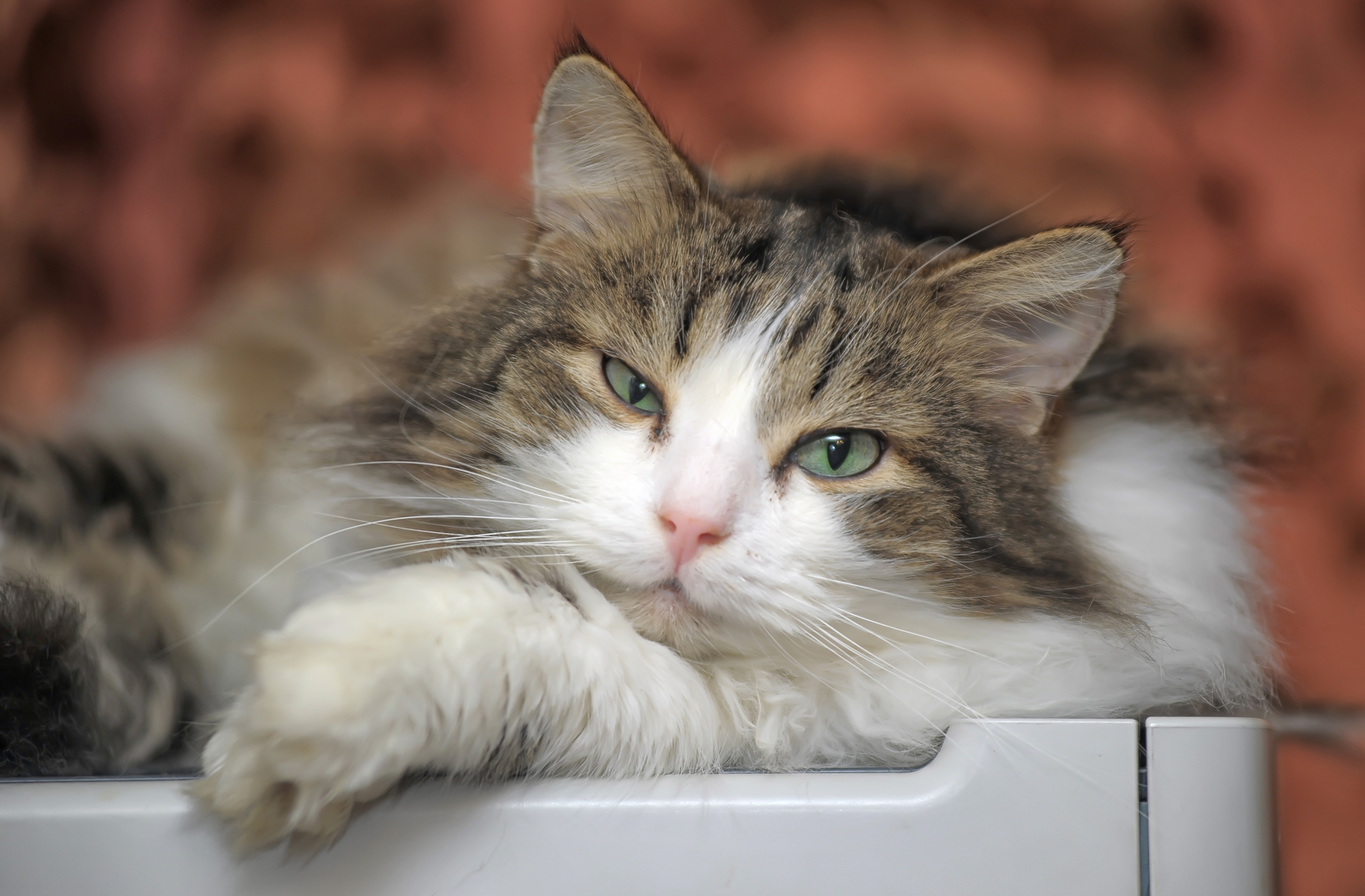 Carefree Cattery Lazy Cat